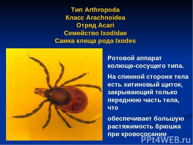 Тип Arthropoda Класс Arachnoidea Отряд Аcari Семейство Ixodidae Самка клеща рода Ixodes Ротовой аппарат колюще-сосущего типа. На спинной стороне тела есть хитиновый щиток, закрывающий только переднюю часть тела, что обеспечивает большую растяжимость…