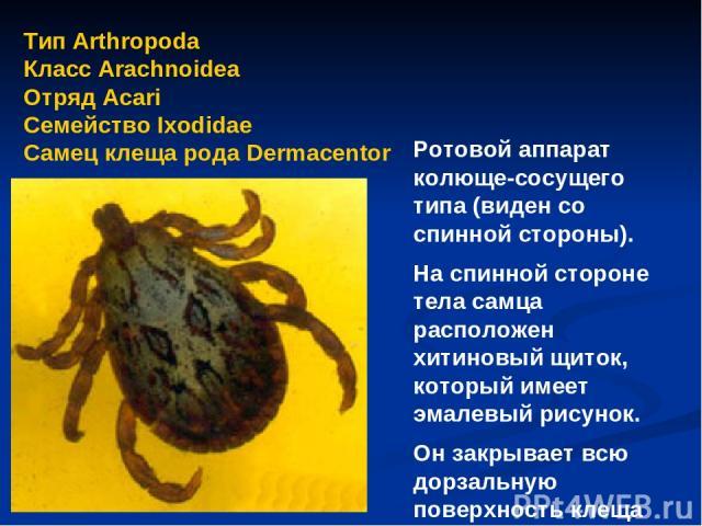Тип Arthropoda Класс Arachnoidea Отряд Аcari Семейство Ixodidae Самец клеща рода Dermacentor Ротовой аппарат колюще-сосущего типа (виден со спинной стороны). На спинной стороне тела самца расположен хитиновый щиток, который имеет эмалевый рисунок. О…