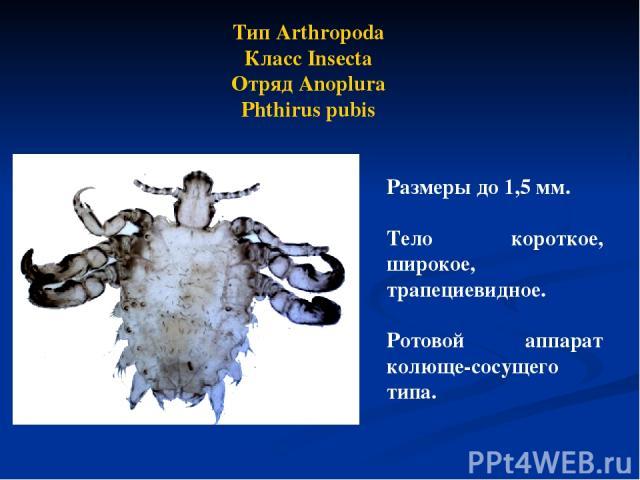 Тип Arthropoda Класс Insecta Отряд Anoplura Phthirus pubis Размеры до 1,5 мм. Тело короткое, широкое, трапециевидное. Ротовой аппарат колюще-сосущего типа.