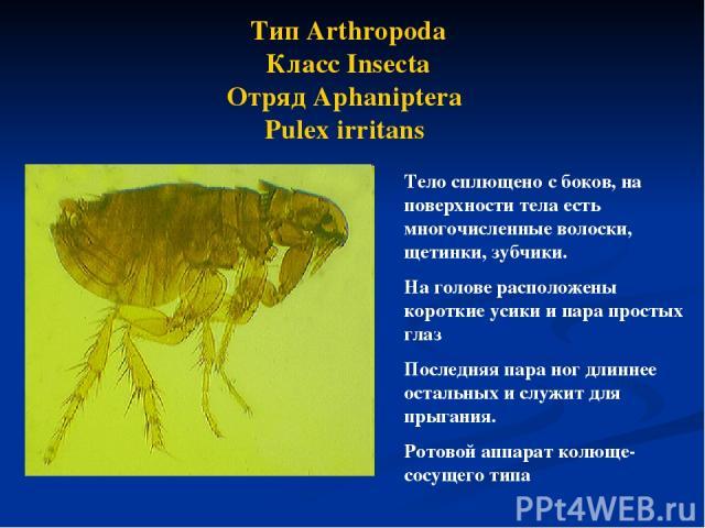Тип Arthropoda Класс Insecta Отряд Aphaniptera Pulex irritans Тело сплющено с боков, на поверхности тела есть многочисленные волоски, щетинки, зубчики. На голове расположены короткие усики и пара простых глаз Последняя пара ног длиннее остальных и с…