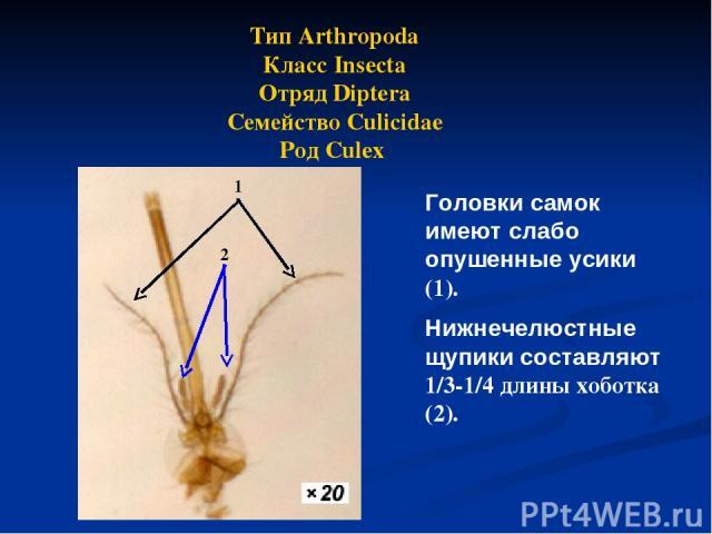 Тип Arthropoda Класс Insecta Отряд Diptera Семейство Culicidae Род Culex Головки самок имеют слабо опушенные усики (1). Нижнечелюстные щупики составляют 1/3-1/4 длины хоботка (2). 1 2