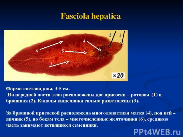 Fasciola hepatica Форма листовидная, 3-5 см. На передней части тела расположены две присоски – ротовая (1) и брюшная (2). Каналы кишечника сильно разветвлены (3). За брюшной присоской расположена многолопастная матка (4), под ней – яичник (5), по бо…