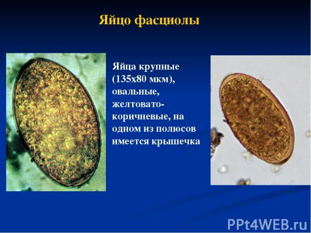 Яйцо фасциолы Яйца крупные (135х80 мкм), овальные, желтовато-коричневые, на одном из полюсов имеется крышечка