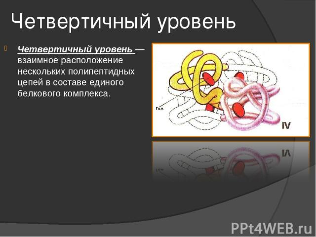 Четвертичный уровень Четвертичный уровень — взаимное расположение нескольких полипептидных цепей в составе единого белкового комплекса.