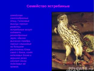 Семейство ястребиные семейство соколообразных птиц. Голосовые мышцы хорошо разви
