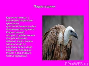 Падальщики Крупные птицы, с длинными широкими крыльями, приспособленными для дли