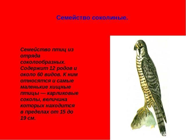 Семейство соколиные. Семейство птиц из отряда соколообразных. Содержит 12 родов и около 60 видов. К ним относятся и самые маленькие хищные птицы — карликовые соколы, величина которых находится в пределах от 15 до 19 см.