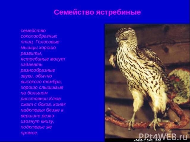 Семейство ястребиные семейство соколообразных птиц. Голосовые мышцы хорошо развиты, ястребиные могут издавать разнообразные звуки, обычно высокого тембра, хорошо слышимые на большом расстоянии.Клюв сжат с боков, конёк надклювья ближе к вершине резко…