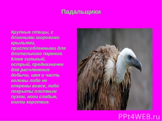 Падальщики Крупные птицы, с длинными широкими крыльями, приспособленными для длительного парения. Клюв сильный, острый, предназначен для расчленения добычи, шея и часть головы либо не оперены вовсе, либо покрыты плотным пухом, ноги слабые, когти короткие.