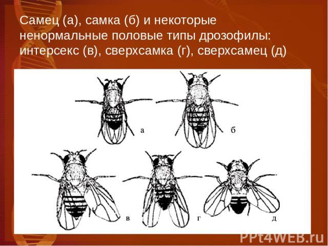 Самец (а), самка (б) и некоторые ненормальные половые типы дрозофилы: интерсекс (в), сверхсамка (г), сверхсамец (д)