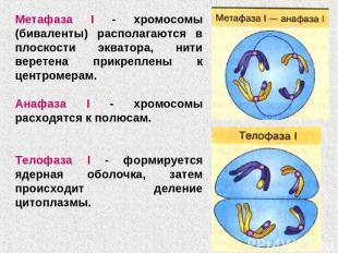 Метафаза I - хромосомы (биваленты) располагаются в плоскости экватора, нити вере