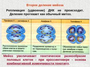 Второе деление мейоза Репликация (удвоение) ДНК не происходит. Деление протекает