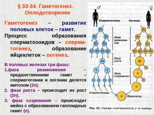 § 33-34. Гаметогенез. Оплодотворение Гаметогенез – развитие половых клеток – гам