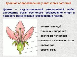 Двойное оплодотворение у цветковых растений Цветок – видоизмененный укороченный