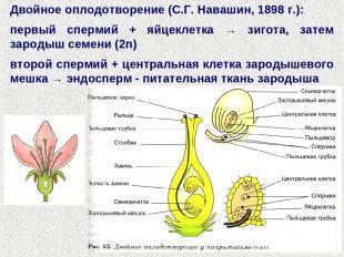 Двойное оплодотворение (С.Г. Навашин, 1898 г.): первый спермий + яйцеклетка → зи