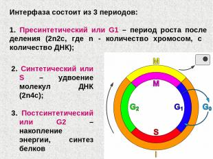 2. Синтетический или S – удвоение молекул ДНК (2n4c); 3. Постсинтетический или G