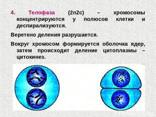 4. Телофаза (2n2c) – хромосомы концентрируются у полюсов клетки и деспирализуютс