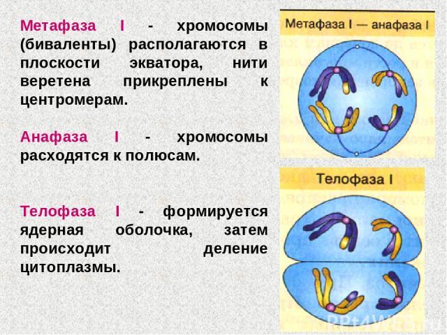 Метафаза I - хромосомы (биваленты) располагаются в плоскости экватора, нити веретена прикреплены к центромерам. Анафаза I - хромосомы расходятся к полюсам. Телофаза I - формируется ядерная оболочка, затем происходит деление цитоплазмы.