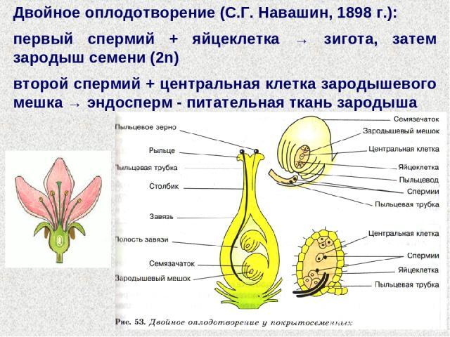 Двойное оплодотворение (С.Г. Навашин, 1898 г.): первый спермий + яйцеклетка → зигота, затем зародыш семени (2n) второй спермий + центральная клетка зародышевого мешка → эндосперм - питательная ткань зародыша