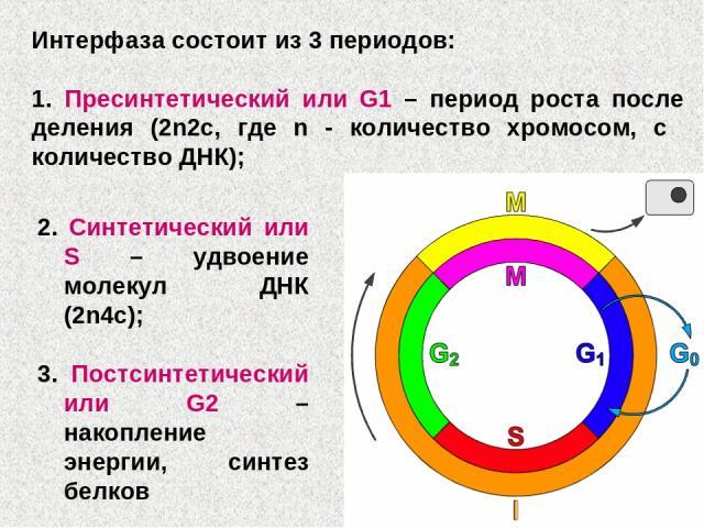 2. Синтетический или S – удвоение молекул ДНК (2n4c); 3. Постсинтетический или G2 – накопление энергии, синтез белков Интерфаза состоит из 3 периодов: 1. Пресинтетический или G1 – период роста после деления (2n2c, где n - количество хромосом, с коли…