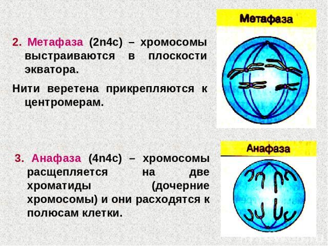 2. Метафаза (2n4c) – хромосомы выстраиваются в плоскости экватора. Нити веретена прикрепляются к центромерам. 3. Анафаза (4n4c) – хромосомы расщепляется на две хроматиды (дочерние хромосомы) и они расходятся к полюсам клетки.