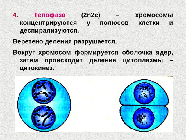 4. Телофаза (2n2c) – хромосомы концентрируются у полюсов клетки и деспирализуются. Веретено деления разрушается. Вокруг хромосом формируется оболочка ядер, затем происходит деление цитоплазмы – цитокинез.