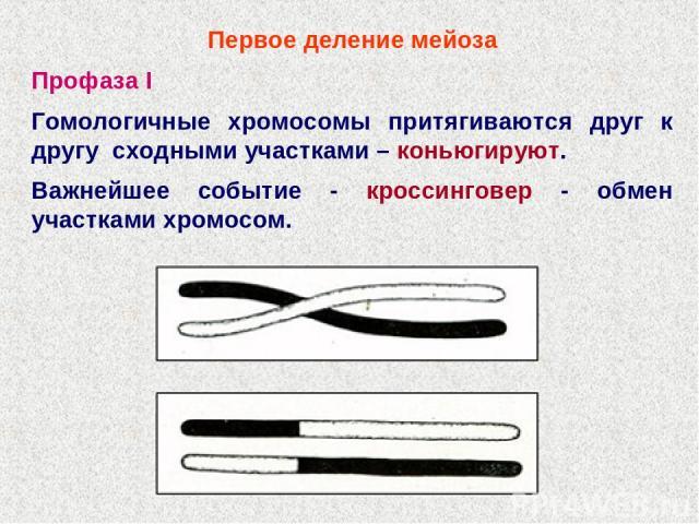 Первое деление мейоза Профаза I Гомологичные хромосомы притягиваются друг к другу сходными участками – коньюгируют. Важнейшее событие - кроссинговер - обмен участками хромосом.