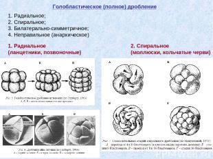 Голобластическое (полное) дробление 1. Радиальное; 2. Спиральное; 3. Билатеральн