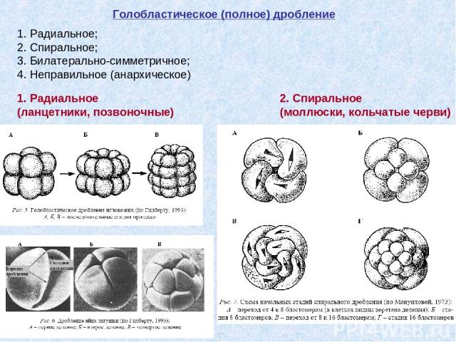 Голобластическое (полное) дробление 1. Радиальное; 2. Спиральное; 3. Билатерально-симметричное; 4. Неправильное (анархическое) 1. Радиальное (ланцетники, позвоночные) 2. Спиральное (моллюски, кольчатые черви)