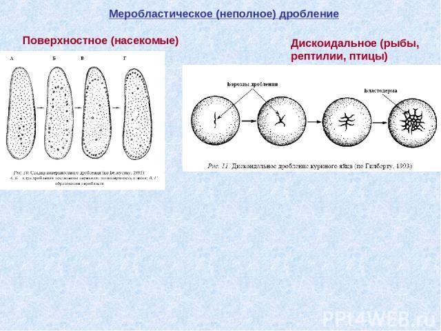 Меробластическое (неполное) дробление Поверхностное (насекомые) Дискоидальное (рыбы, рептилии, птицы)