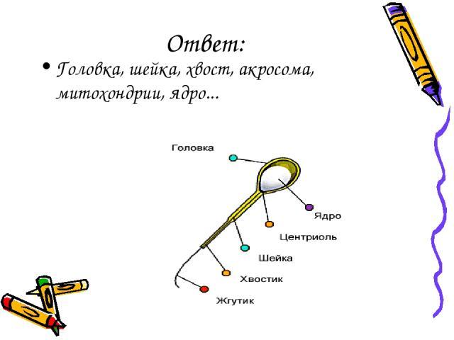 Ответ: Головка, шейка, хвост, акросома, митохондрии, ядро...
