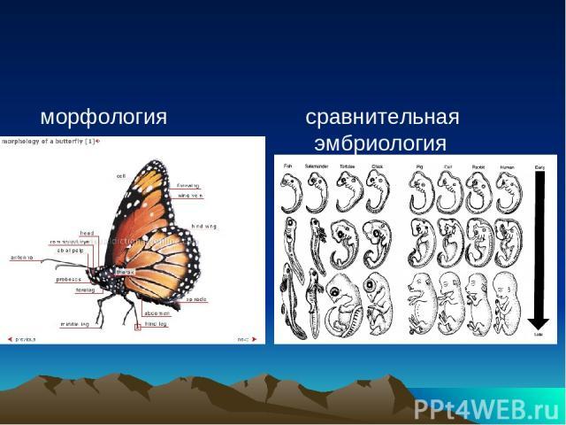 морфология сравнительная эмбриология