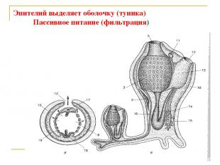 Эпителий выделяет оболочку (туника) Пассивное питание (фильтрация)