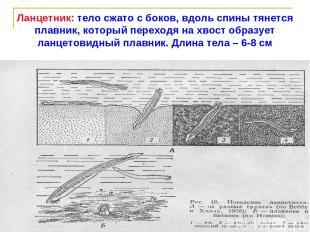 Ланцетник: тело сжато с боков, вдоль спины тянется плавник, который переходя на