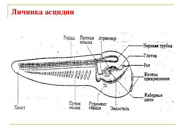 Личинка асцидии