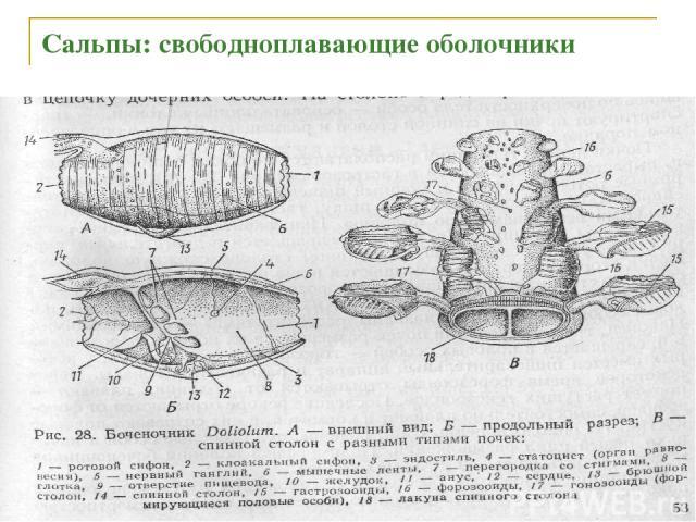Сальпы: свободноплавающие оболочники