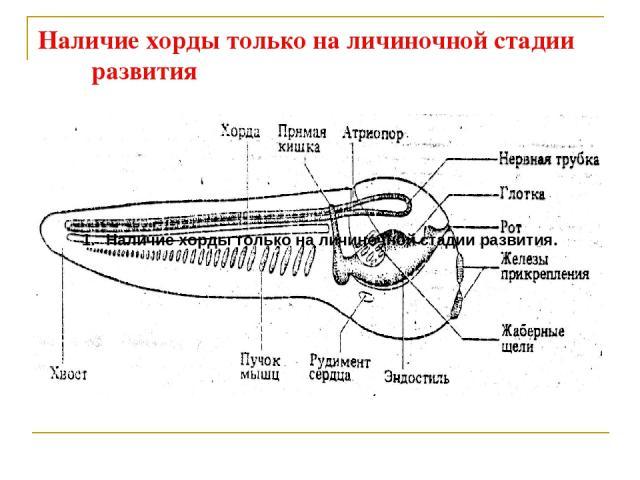 Наличие хорды только на личиночной стадии развития Наличие хорды только на личиночной стадии развития.