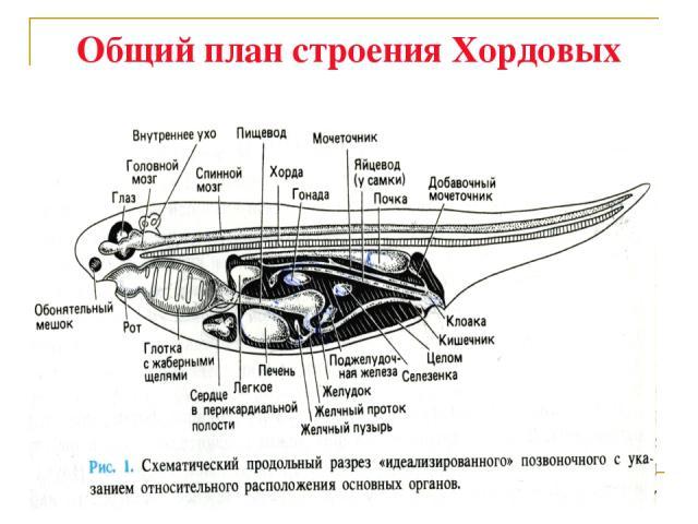 Общий план строения Хордовых
