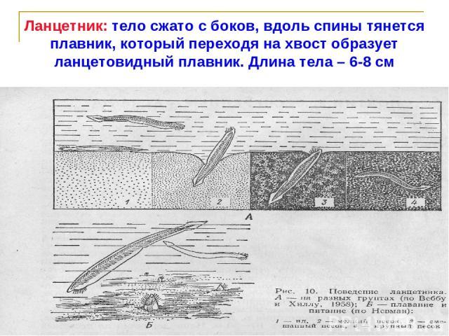 Ланцетник: тело сжато с боков, вдоль спины тянется плавник, который переходя на хвост образует ланцетовидный плавник. Длина тела – 6-8 см
