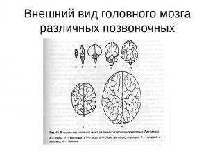Внешний вид головного мозга различных позвоночных