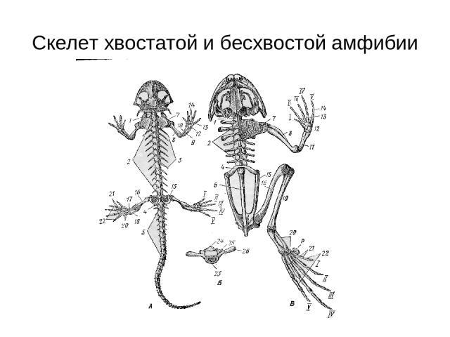 Скелет хвостатой и бесхвостой амфибии