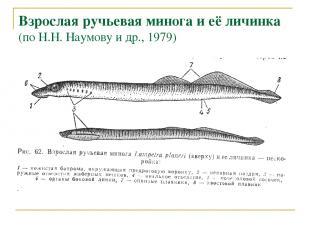 Взрослая ручьевая минога и её личинка (по Н.Н. Наумову и др., 1979)