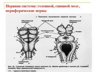 Нервная система: головной, спинной мозг, периферические нервы