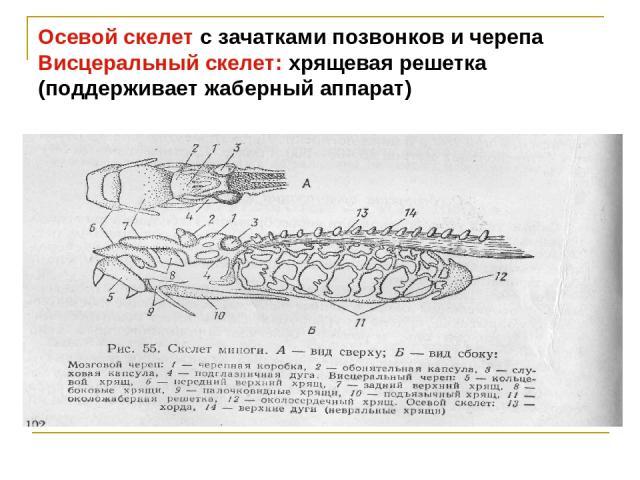 Осевой скелет с зачатками позвонков и черепа Висцеральный скелет: хрящевая решетка (поддерживает жаберный аппарат)
