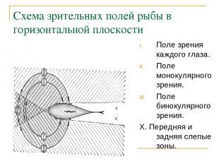 Схема зрительных полей рыбы в горизонтальной плоскости Поле зрения каждого глаза