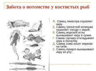Забота о потомстве у костистых рыб А. Самец пинагора охраняет икру. Б. Самец тре