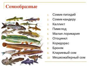 Сомообразные Сомик-пигидий Сомик-кандеру Каллихт Пимелод Малая лорикария Отоцинк