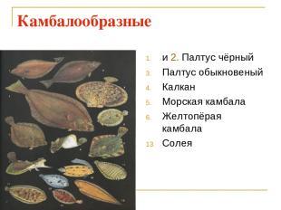 Камбалообразные и 2. Палтус чёрный Палтус обыкновеный Калкан Морская камбала Жел