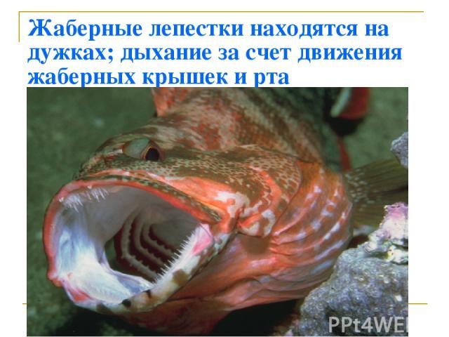 Жаберные лепестки находятся на дужках; дыхание за счет движения жаберных крышек и рта