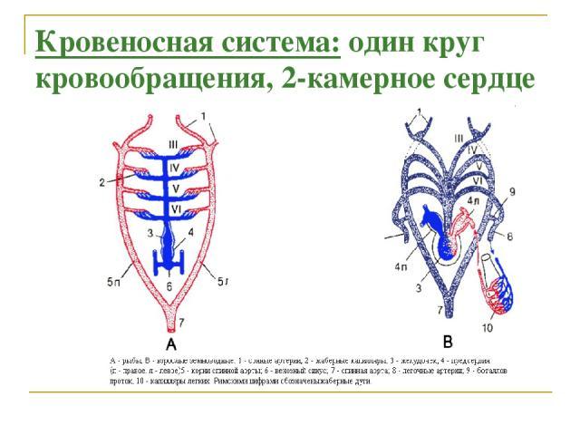 Кровеносная система: один круг кровообращения, 2-камерное сердце